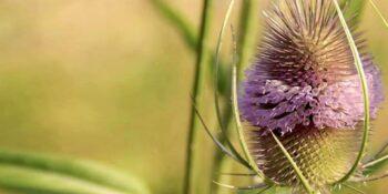 Divja ščetica uspešna v boju z bakterijami borelioze